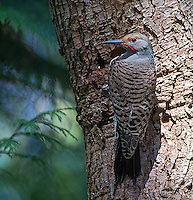 This northern flicker was digging out a nest hole in Yost Park.