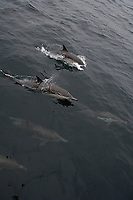 Common Dolphin Surface, Delphinus delphis, Santa Barbara, California, USA, Pacific Ocean