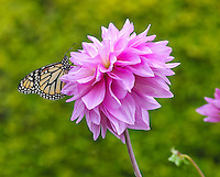 A close-up of a monarch butterfly on a flower near the Proteas of Hawaii gift shop next to the Kula Lodge on Maui.