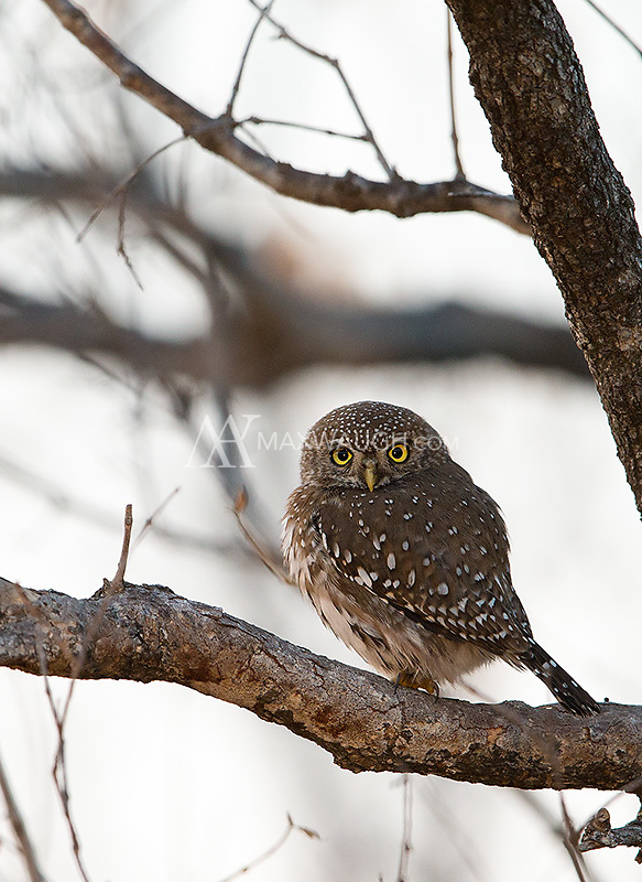 Pearl spotted owlets may be the most commonly-seen African owl species during my trips.