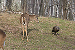 White-tailed deer - yearling with hen wild turkey