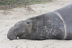 Bull elephant seal with neck wound