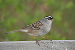 White-crowned sparrow (Zonotrichia leucophrys) portrait