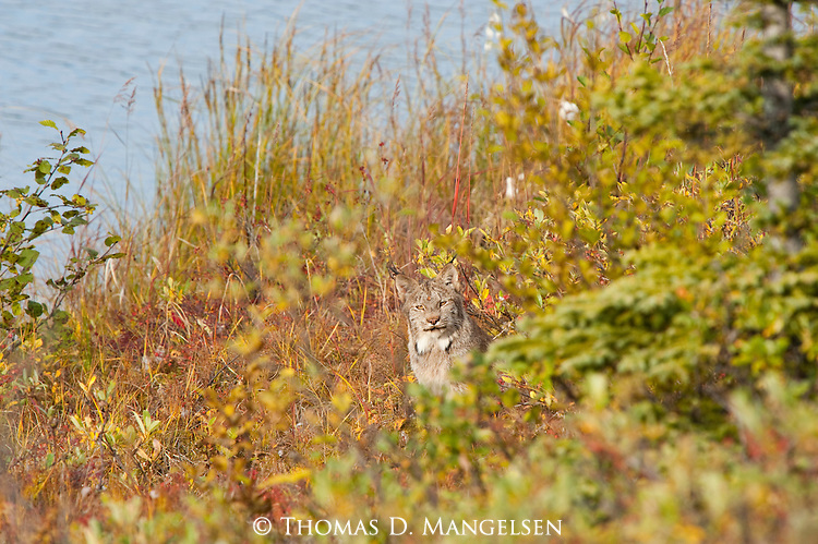 A Canada lynx sits among the fall foliage in Denali National Park, Alaska.