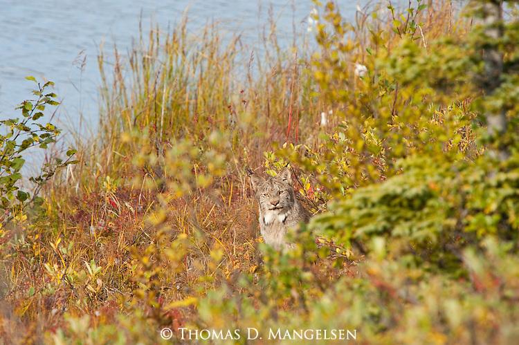 A Canada lynx sits among the fall foliage in Denali National Park, Alaska.