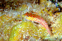 saddled blenny, Malacoctenus triangulatus, Jan's Reef, Cayman Brac, Cayman Islands, Caribbean Sea, Atlantic Ocean