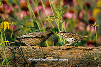 01575-00912 Song Sparrow (Melospiza melodia) feeding Brown-headed Cowbird (Molotrhus ater) on fence Marion Co. IL