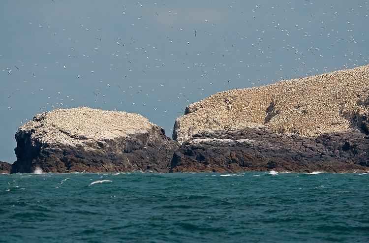 Gannet - Morus bassanus, breeding colony on Grassholm, Wales UK
