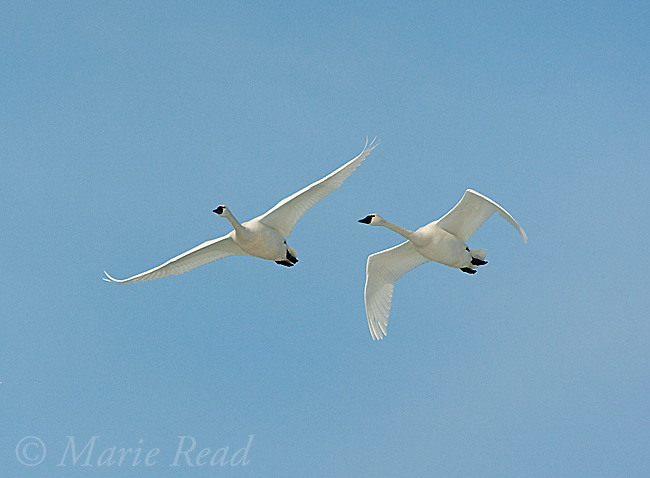 Tundra Swans (Cygnus columbianus) two in flight, late winter, New York, USA
