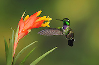 Purple-bibbed Whitetip (Urosticte benjamini), male feeding from bromeliad flower,Mindo, Ecuador, Andes, South America