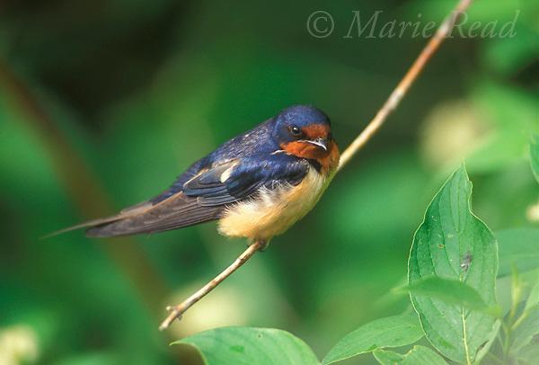 Barn Swallow (Hirundo rustica), adult perching, New York, USA