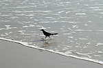 A grackle strides out of the water with a small shellfish in its beak.