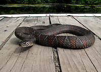 Northern Water Snake, Old Erie Canal, New York.