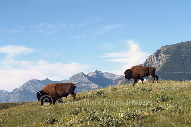 Buffalo aka American Bison (Bison bison) roaming in Paddock, Waterton Lakes National Park, Canadian Rockies, Alberta, Canada