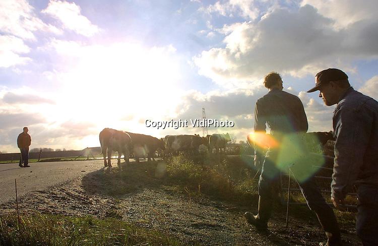 Foto: VidiPhoto..OPHEUSDEN - Veehouder Albert Verwoert uit Opheusden haalt donderdag als een van de laatste veehouders zijn MRIJ-koeien (Maas, Rijn, IJssel) naar binnen. Het weiland in de uiterwaarden langs de Rijn biedt weinig meer te vreten voor de dieren en het land wordt door de regenval van de laatste dagen te drassig. Ieder jaar is Verwoert ongeveer de laatste boer die zijn vee naar binnen haalt voor de winter.