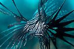 Indian Lionfish, Pterois miles , Anilao