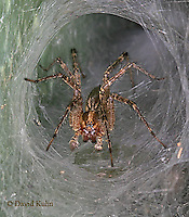 0925-06ww  Grass Spider - Funnel web spider - Agelenopsis spp. - © David Kuhn/Dwight Kuhn Photography