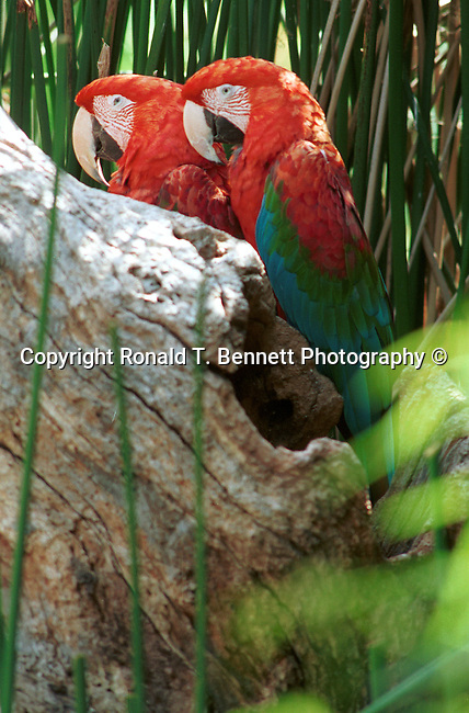 Macaw, California, West Coast of US, Golden State, 31st State, California, CA, Calif, Calf,Calaforna, Calafornia, Cali, Fine Art Photography by Ron Bennett, Fine Art, Fine Art photography, Art Photography, Copyright RonBennettPhotography.com ©