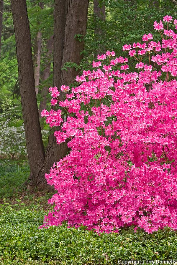 U.S. National Arboretum, Washington D.C.<br /> Azaleas blooming in a forest garden setting