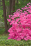 U.S. National Arboretum, Washington D.C.<br /> Azaleas blooming in a forest garden setting