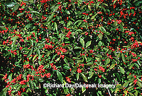 63808-02406 Common Winterberry bush (Ilex verticillata) with berries  Marion Co.   IL