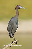 00689-01215 Little Blue Heron (Egretta caerulea)  Starr Co.  TX