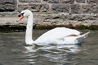 "Pictured: The killer swan, named by locals ""Mr Nasty"" in the pond by Pembroke Castle, west Wales, UK. Sunday 08 July 2018<br /> Re: A vicious killer swan is prowling around Pembroke, determined to see off any threat to his territory by ruthlessly drowning his victims.<br /> So far, he has killed 10 other swans, though many more have been saved from his attacks.<br /> Dubbed by locals ""Mr Nasty""  lives on the Castle Pond by Pembroke Castle. <br /> Bird sanctuary worker Maria Evans says she has watched him at work, drowning other swans, breaking their feet or pushing them over a sluice.<br /> In 2010, another killer swan dubbed ""Hannibal"" had his wings clipped after attacking other swans in the same pond."