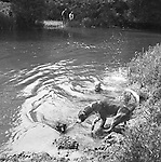 The Valley Minkhounds. Joey the terrier man rescues one of his four Patterdale terriers that had become tangled up in brambles and overhanging undergrowth on the river Kennet. Near Aldermaston, Berkshire..Hunting with Hounds / Mansion Editions (isbn 0-9542233-1-4) copyright Homer Sykes. +44 (0) 20-8542-7083. < www.mansioneditions.com >