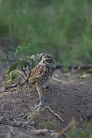 Burrowing Owl seen above the nest a hole in the ground in southern Arizona.
