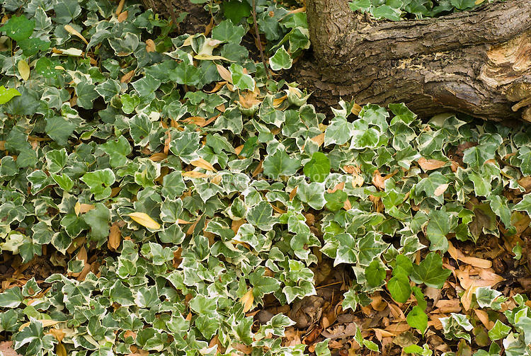 Hedera helix 'Glacier' as groundcover, English ivy vine