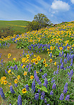Columbia Hills State Park, WA: Hillside of lupine and balsamroot with oak tree under blue skies