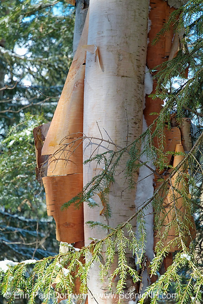 Peeling birch tree on the side of Starr King Trail in the White Mountains of New Hampshire.