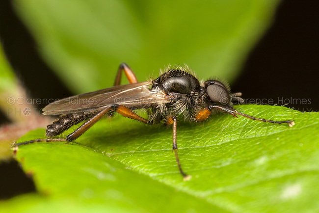 A male March Fly (Bibio xanthopus) perches on a leaf.