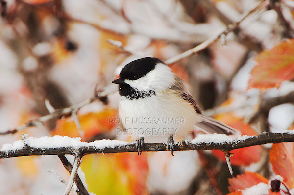 Black-capped Chickadee, Poecile atricapilla, adult in snow fallcolors, Grand Teton NP,Wyoming, USA