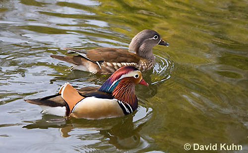0310-1013  Pair of Mandarin Ducks (Drake in Foreground, Female in Background), Aix galericulata  © David Kuhn/Dwight Kuhn Photography.