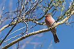 Tucson, Arizona; a lone male House Finch bird perched on a tree branch in early morning sunlight