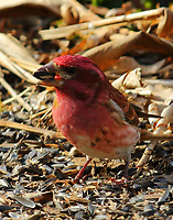 Male purple finch, this bird may be a young male since it still has a few brown spots on the belly.