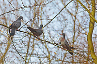 Hohltaube, Hohl-Taube, Columba oenas, Stock dove, Le Pigeon colombin, Tauben, Columbidae
