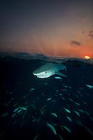 Tiger Shark (Galeocerdo cuvier) split image shot in the Bahamas at sunset.
