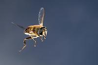 Große Bienenschwebfliege, Bienen-Schwebfliege, Mistbiene, Schlammfliege, Scheinbienen-Keilfleckschwebfliege, Männchen, Flug, fliegend, Eristalis tenax, drone fly, dronefly, male, flight, flying, L'éristale gluant, L'éristale tenace