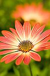 Astra, Light Copper. Osteospermum daisy like flower.