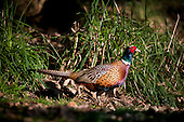 A Cock Ring Necked Pheasant (Pahasianus colchicus) feeds under an Oak tree in the early morning light.
