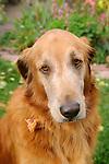 Golden Labrador Retiever. 'Gilly' .