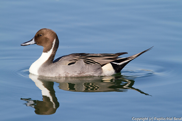 Northern Pintail drake with reflection.(Anas acuta ).Back Bay Reserve,California