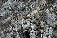 Capra Ibex - Steinbock