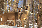 White-tailed doe and her fawn deep within the snowy northern forest of Wisconsin.