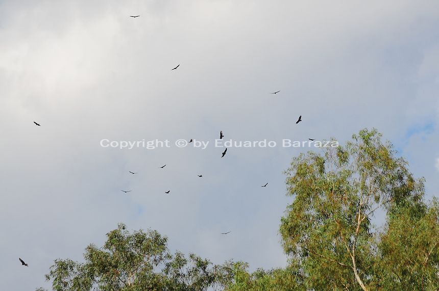 Superior, Arizona (September 21, 2014) -- A number of turkey vultures soar the sky in groups as they begin their daily scavenging. As September 20 brings the Autumn Equinox, marking the end of the summer, a flock of turkey vultures that make the Boyce Thompson Arboretum in Superior, Arizona their home from March to September each year, are about to begin their annual migration.  Photo by Eduardo Barraza © 2014