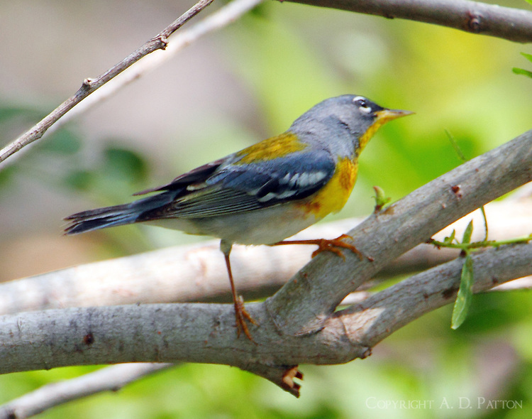 Adult male northern parula