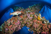 A young California Sheephead, Semicossyphus pulcher, swims amidst structure of the Eurika oil rig, which is encrusted with colorful aneomes and sponges. Long Beach, California, USA, Pacific Ocean