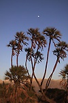 Israel, Arava, Doum Palm (Hyphaene thebaica) trees in Evrona